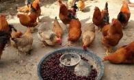 抖音一群鸡吃车厘子图片分享
